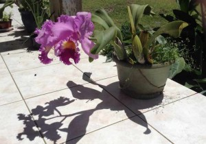 cattleya ombres et lumière